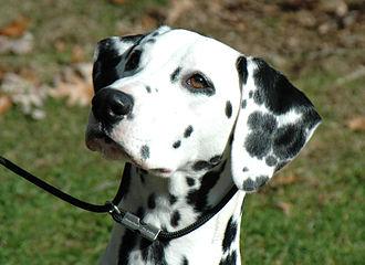 Dalmatian dog - Dalmatian portrait