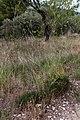 Fenouil commun-Foenicum vulgare-Calvisson-20140804.jpg