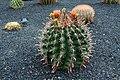 Ferocactus Townsendianus in Jardin de Cactus on Lanzarote, June 2013 (1).jpg