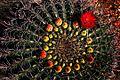Ferocactus wislizeni Flower (209357947).jpg