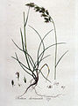 Festuca duriuscula — Flora Batava — Volume v4.jpg