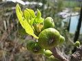 Ficus Carica 1.jpg