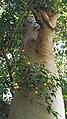 Ficus benjamina - Stem with bark and fruits.jpg