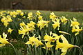 Field-of-yellow-daffodils-spring - West Virginia - ForestWander.jpg