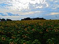 Field of Sunflowers - panoramio (4).jpg