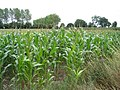 Field of maize near Willaston - geograph.org.uk - 214798.jpg
