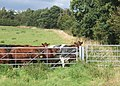 Field with cattle near Cottage Farm - geograph.org.uk - 930767.jpg