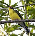 Fig bird male2 (9994302966).jpg