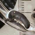 Figure 21 (PeerJ 4672) - Diversibipalium black.png