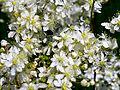 Filipendula vulgaris Bobrovnya5.JPG