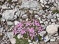 Fiori d'alta montagna - Silene acaulis - panoramio.jpg