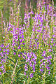 Fireweed at Arctic Chalet, Inuvik, NT.jpg