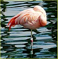 Flamingo, Palm Desert 2-22-14 (12819549235).jpg