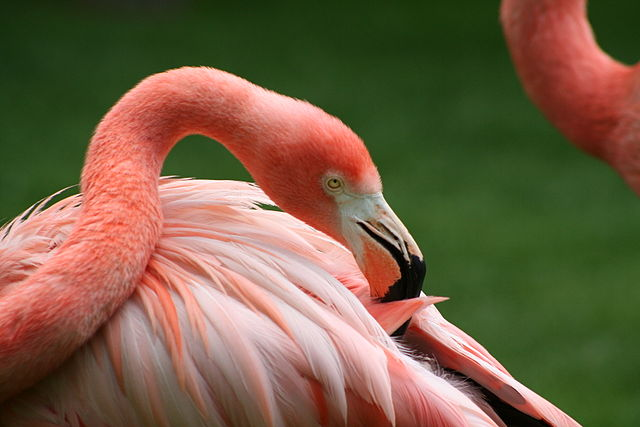 Flamingo n the Madrid Zoo