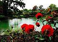 Flickr - JennyHuang - Rose in the rain.jpg