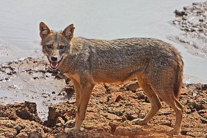 Wildlife of Mauritania - Golden Jackal