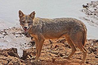 Jackal - Golden jackal (Canis aureus)