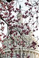 Flickr - USCapitol - Magnolias.jpg
