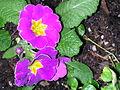 Flickr - brewbooks - Primrose - Our Front Garden, 2003 (2).jpg