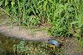 Flickr - ggallice - American purple gallinule (1).jpg