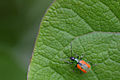 Flickr - ggallice - Beetle.jpg