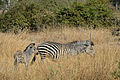 Flickr - ggallice - Plains zebra with foal.jpg