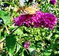 Flickr - ronsaunders47 - BUTTERFLY BEAUTY IN THE BUDLEA BUSH..jpg
