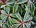 Flickr - ronsaunders47 - FROZEN LEAVES 2.jpg