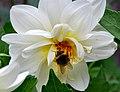 Flickr - ronsaunders47 - busy as a bee (1).jpg