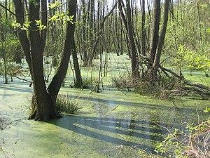 Bruchwald aus Schwarz-Erlen und Gemeinen Eschen im Südteil der Fließwiese bei hohem Wasserstand im April 2009