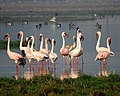 Flock of Lesser Flamingo along with juvenile near Jamnagar railway stationDSCN1798 1.jpg