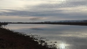 File:Flock of birds near Padilla Bay.webm
