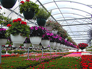 Floriculture - A retail greenhouse shows some of the diversity of floricultural plants