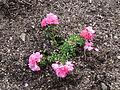 Flower, Park Studánka, Brno (1).jpg