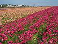 Flower feld 17.jpg