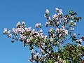Flowering tree - Roseburg Oregon.jpg