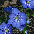 Flowers Sweden March 2015 01.jpg