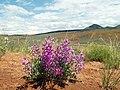 Flowers in Hot Springs State Park - panoramio.jpg