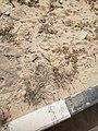 Flowers in Khobar 6.jpg