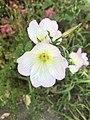 Flowers of Oenothera speciosa 20190504.jpg