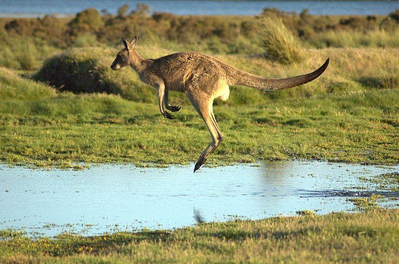 File:Flying-kangaroo.jpg