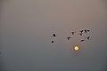 Flying Egrets & Equinox Sun - Kolkata 2012-03-20 9330.JPG