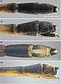 Forcepsioneura (10.3897-zoologia.35.e21351) Figures 31–34.jpg
