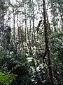 Forest Scene - Tanah Rata - Cameron Highlands - Malaysia - 02 (35412299561).jpg
