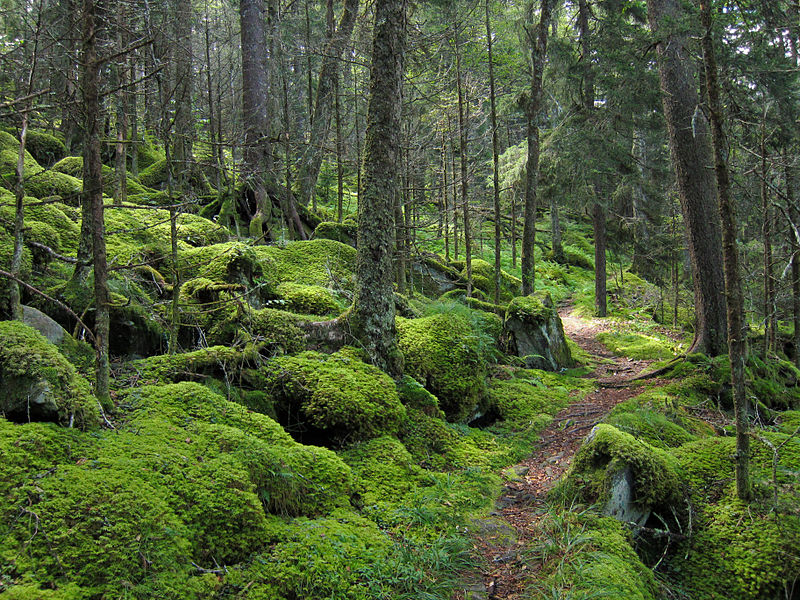 File:Forest on Baxter Creek Trail in Great Smoky Mountains National Park.jpg