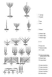 Les différentes formations possibles des arbres fruitiers