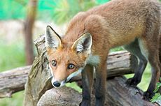 Fox on a log.jpg