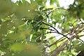 Fraxinus ornus - Crni jasen (9).jpg