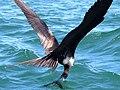 Fregata magnificens-female fishing.jpg