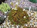 FritillariaDavisii001.JPG
